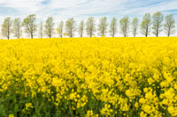 rapeseed-flowering_trees_200.jpg